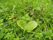twayblade orchid-2