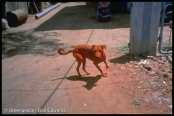 Dog, red from dye waste, Ankleshwar, Guajarat, India