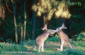 Kangaroos, Australia.