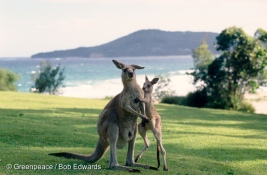 Eastern Grey joey & mother playing in Murramarang Nat Park, New South Wales.