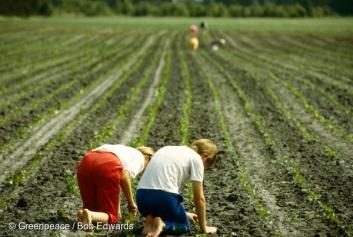 Farmers weeding root crops by hand on Danish farm.