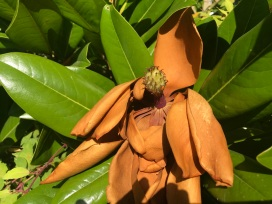 Magnolia06